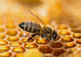 A la recherche de l'abeille parfaite